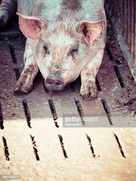 Germany, domestic pig having a rest