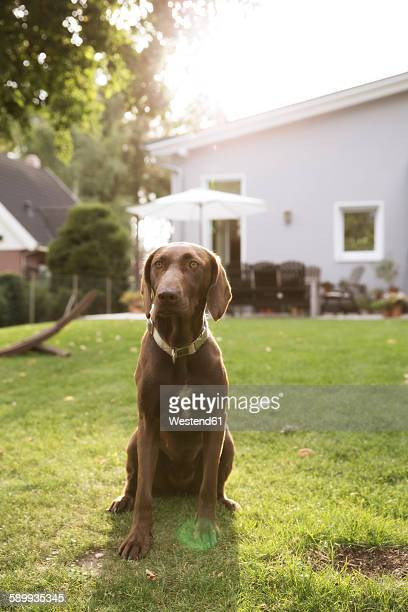Germany, Eggersdorf, dog sitting on lawn in garden