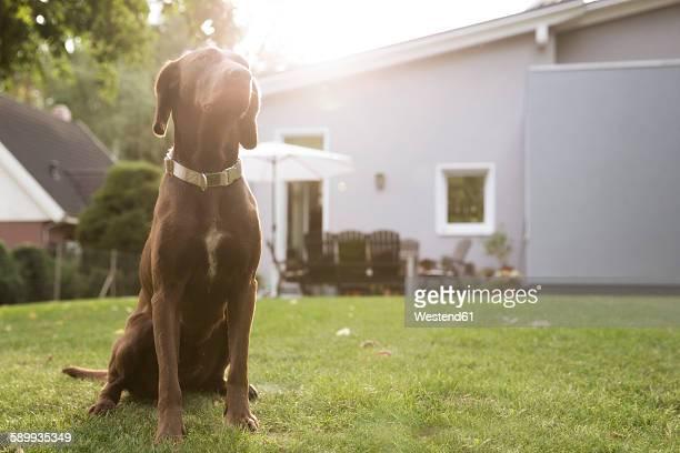 Germany, Eggersdorf, dog sitting on lawn in garden