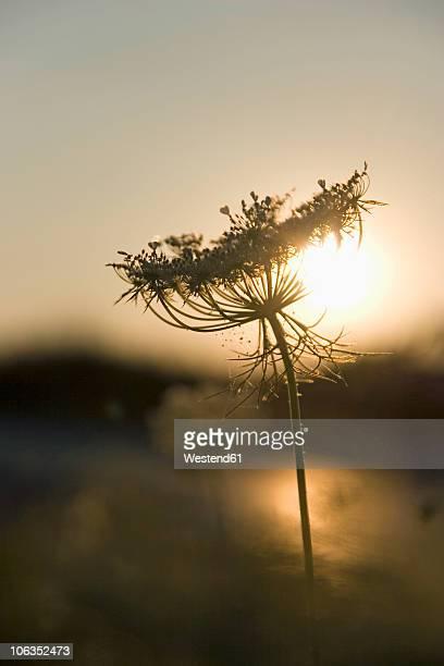 Germany, elder flower in back light