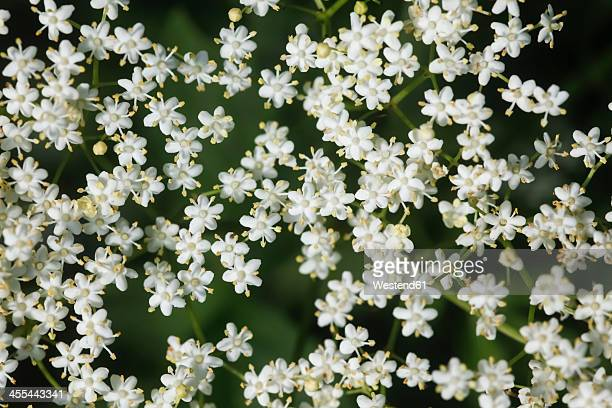 Germany, Elderflower, close up