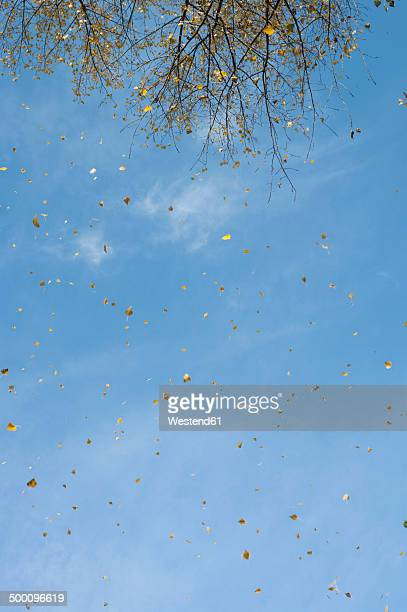 Germany, Frankfurt, Autumn leaves flying in the air