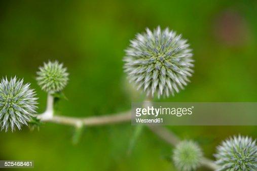 Germany, Globe thistle, Echinops