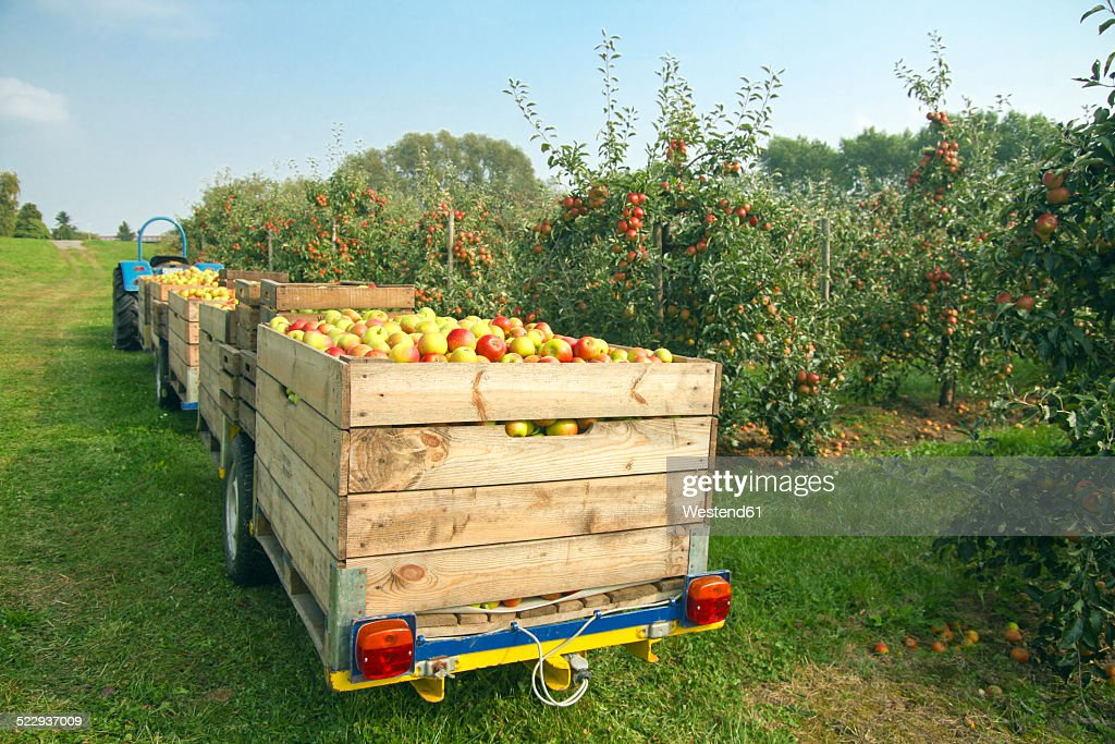 Germany, Hamburg, Altes Land, apple picking