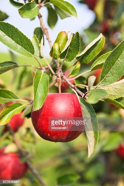 Germany, Hamburg, Altes Land, Ripe apple on apple tree