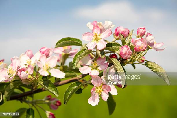 Germany, Hamburg, Area Altes Land, Apple blossoms, Malus domestica, in spring