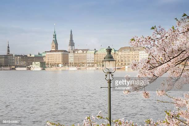 Germany, Hamburg, blossoming cherry tree at Binnenalster