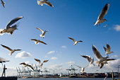 Germany, Hamburg, Port of Hamburg, seagulls flying