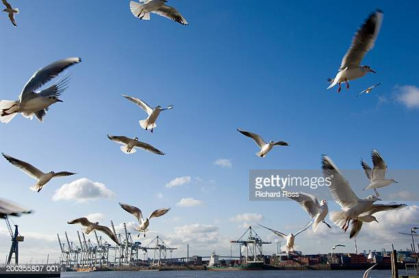 Germany, Hamburg, Port of Hamburg, seagulls flying