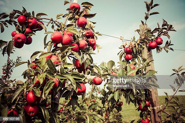 Germany, Hamburg region, Apples in tree