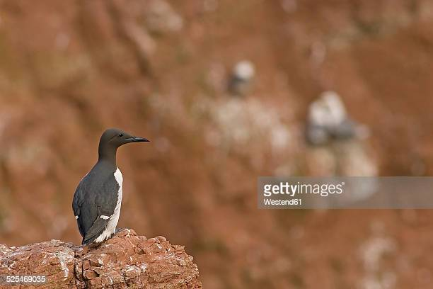 Germany, Helgoland, common murre on rock
