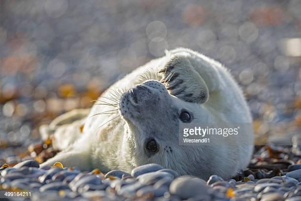 Germany, Helgoland, Duene Island, Grey seal pup (Halichoerus grypus) lying at shingle beach