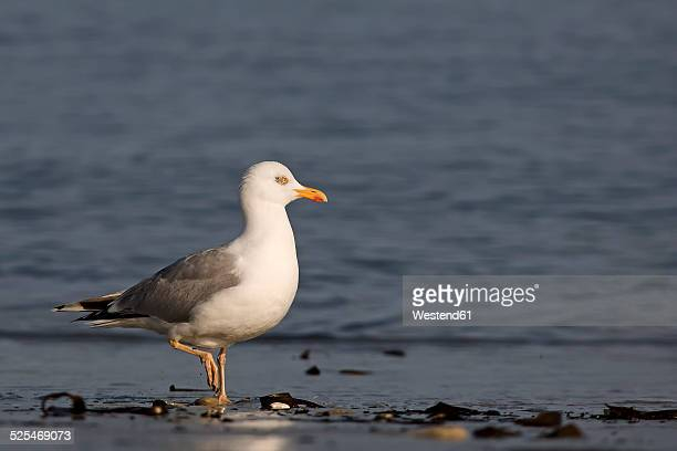 Germany, Helgoland, European herring gull