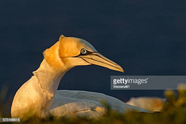 Germany, Helgoland, northern gannet