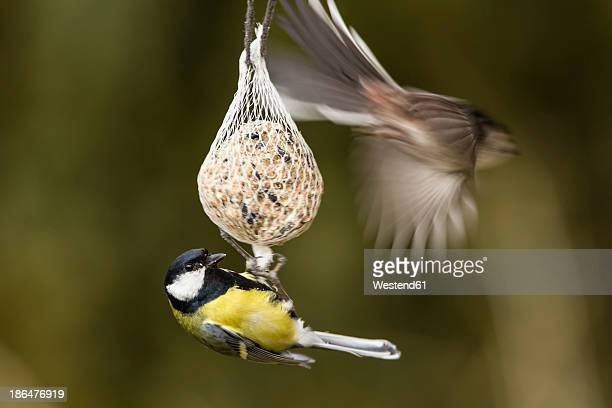 Germany, Hesse, Great tit and Long-tailed Tit on bird feeder