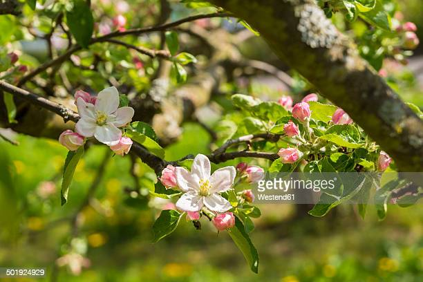 Germany, Hesse, Kronberg, Blossoms of apple tree, Malus domestica