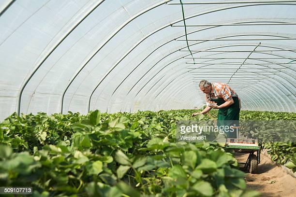 Germany, Hesse, Lampertheim, senior farmer harvesting strawberries in greenhouse