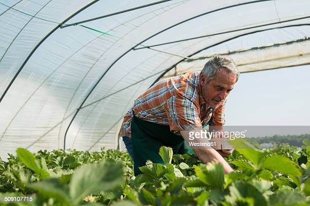 Germany, Hesse, Lampertheim, senior farmer harvesting strawberries in greenhouse