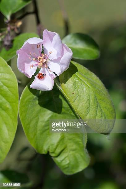 Germany, Hesse, Quince flower, Cydonia oblonga, and Water Ladybird, Anisosticta novemdecimpunctata