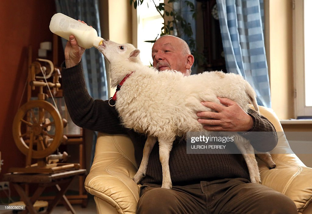 Germany hobby sheperd Wolfgang Grensens bottle feeds his lamb in Luebeck, northern Germany, on November 12, 2012. The sheperd raises the six-weeks-old East-Prussian Skudde lamb himself after the death of its mother. AFP PHOTO /Ulrich Perrey/ GERMANY OUT