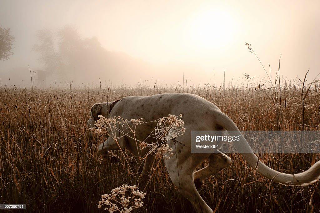 Germany, Hound dog hunting in morning light
