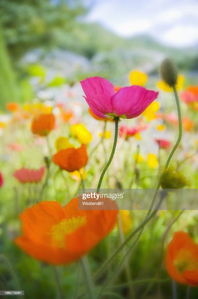 Germany, Iceland poppy (Papaver nudicaule), close-up