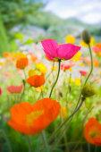 Germany, Iceland poppy (Papaver nudicaule), close-up