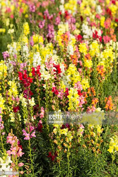 Snapdragon Stock Photos and Pictures
