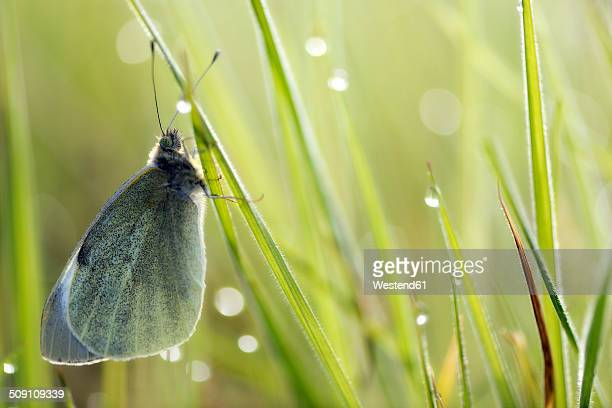 Germany, Large cabbage white butterfly, Pieris brassicae