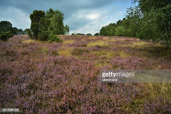 The very early flowering of heather attracts hikers cyclists and carriage driver in the heathlands of Lueneburger Heath