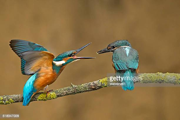 Germany, Lower Saxony, Common kingfishers, Alcedo atthis, on branch