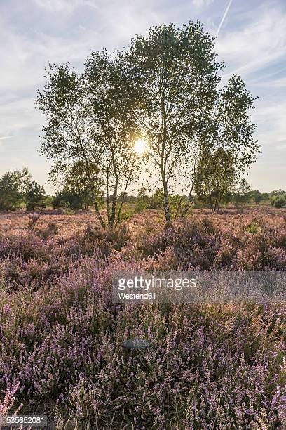 Germany, Lower Saxony, Heath district, Lueneburg Heath, Birch trees against the sun