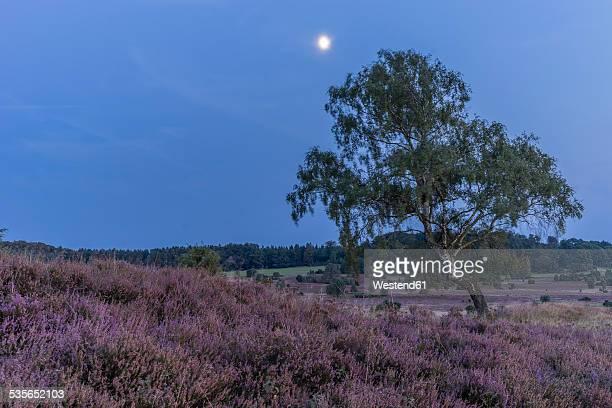 Germany, Lower Saxony, Heath district, Lueneburg Heath, evening twilight and moon