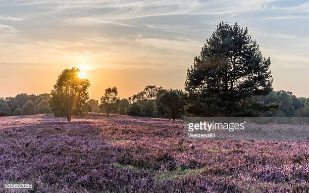 Germany, Lower Saxony, Heath district, Lueneburg Heath in the evening light