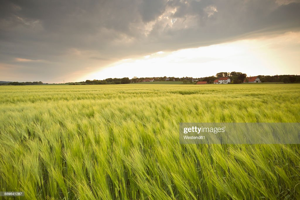 Germany, Lower Saxony, view to barley field