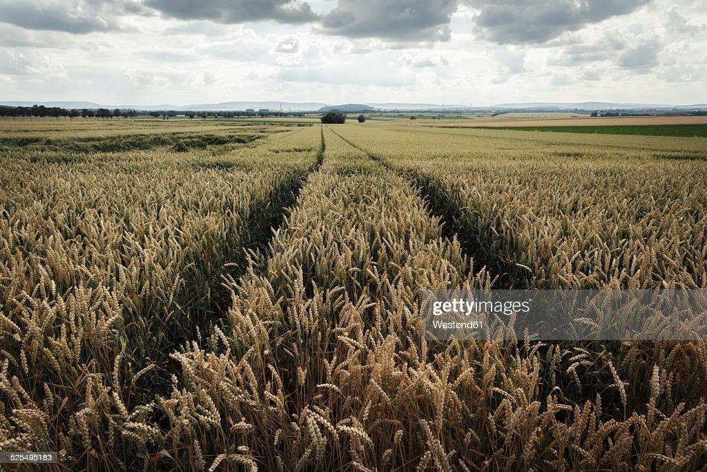 Germany, Lower Saxony, Wheatfield