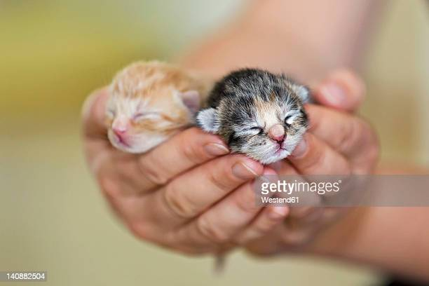 Germany, Mature woman holding newborn kittens, close up