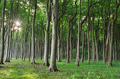 Germany, Mecklenburg Western Pomerania, Beech trees in forest