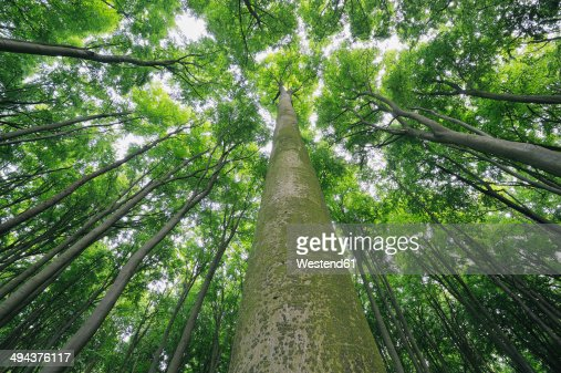 Germany, Mecklenburg-Western Pomerania, beech trees (Fagus), view from below