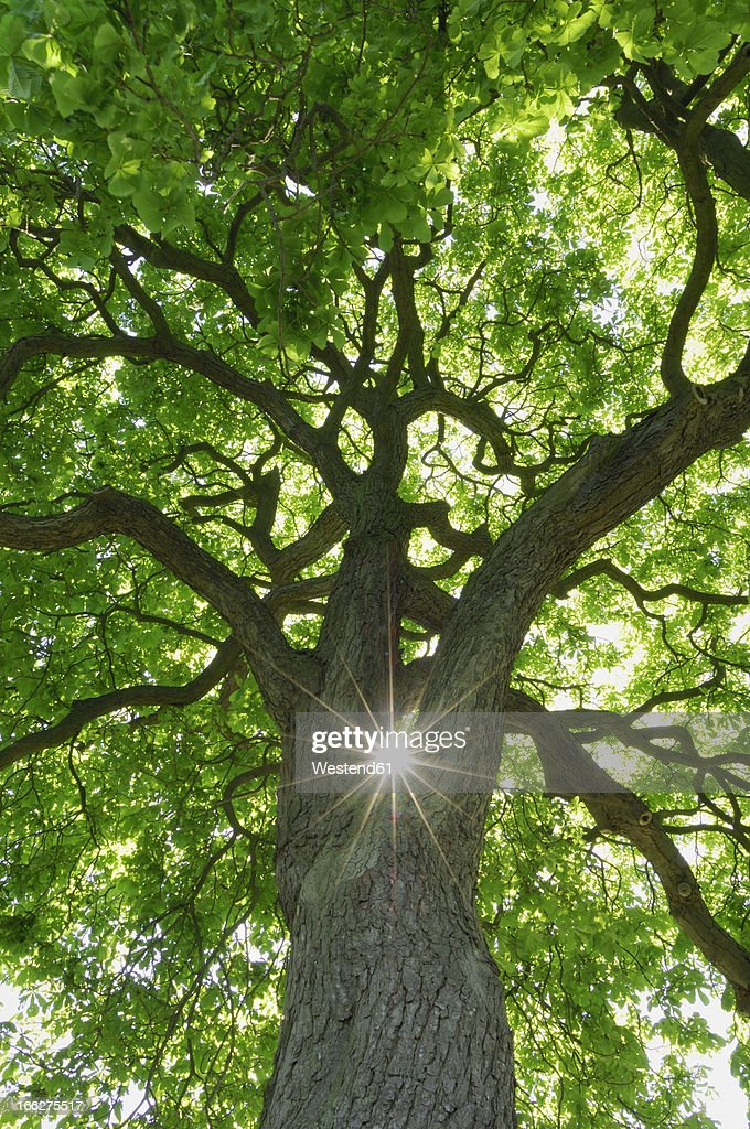 Germany, Mecklenburg-Western Pomerania, Low angle view of Chestnut Tree (Aesculus hippocastanum) with sunbeams