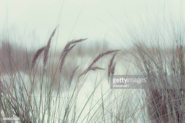 Germany, Mecklenburg-Western Pomerania, Ruegen, Marram grass in winter