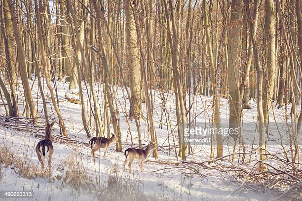 Germany, Mecklenburg-Western Pomerania, Ruegen, Stags in forest in winter