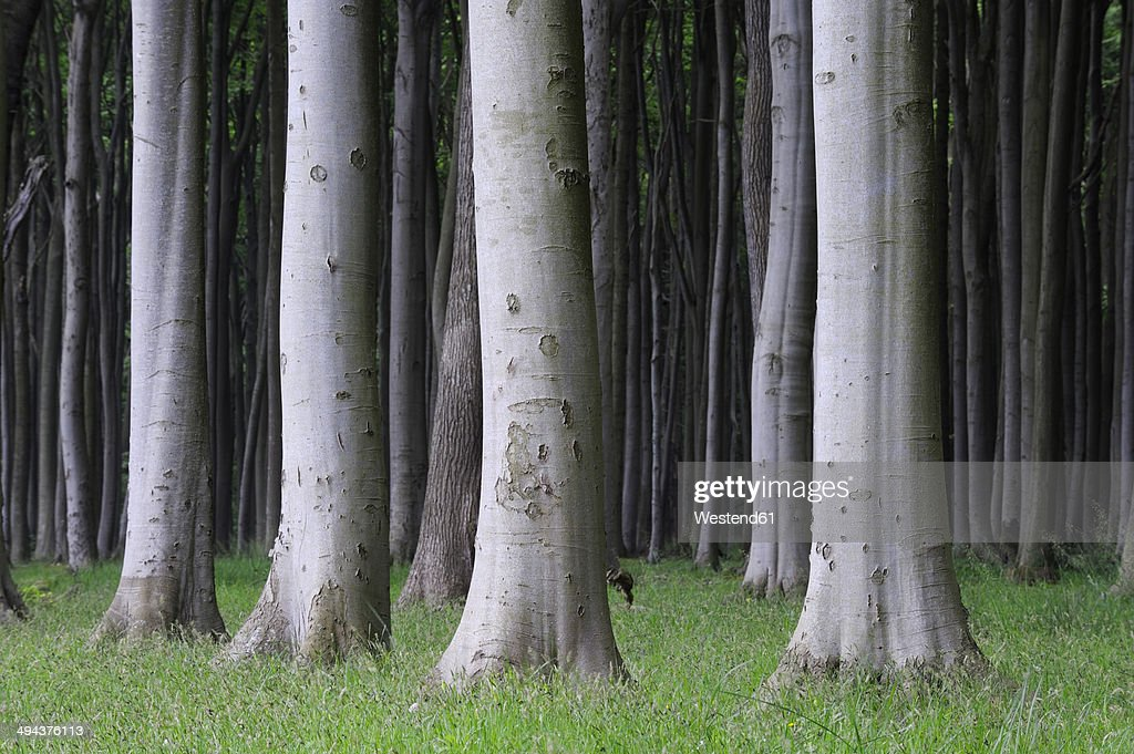 Germany, Mecklenburg-Western Pomerania, treetrunks of beech forest (Fagus)