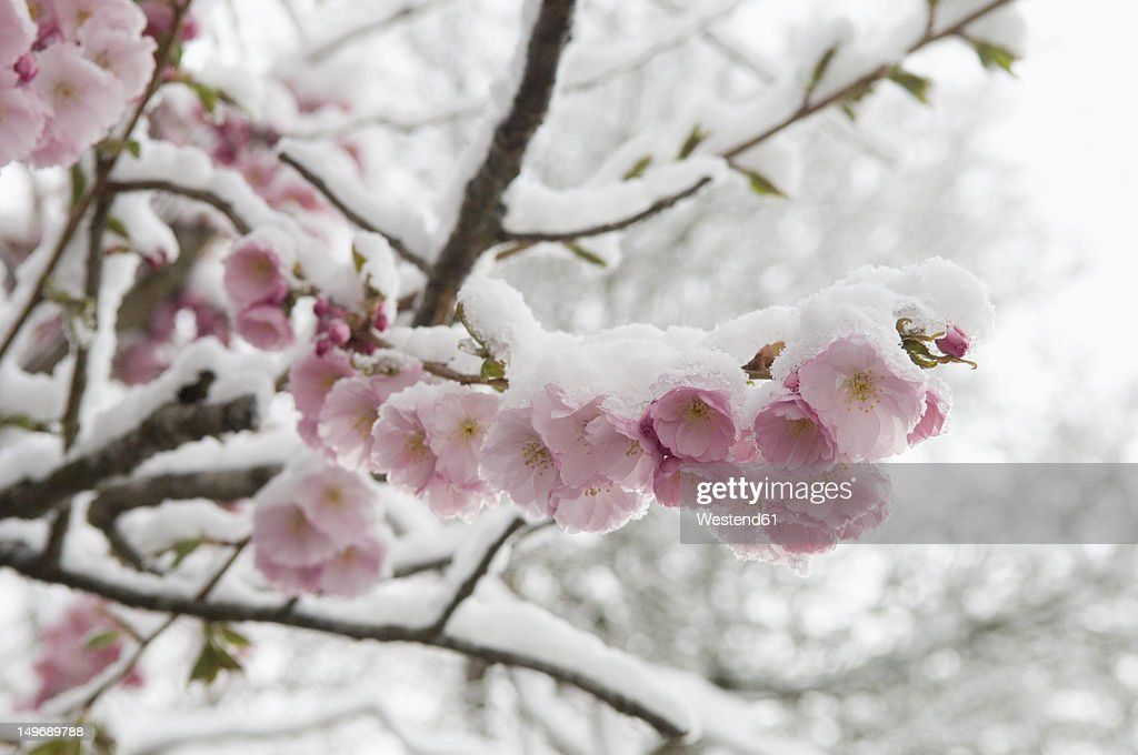 Germany, Munich, Snow covered cherry blossom, close up : Stock Photo