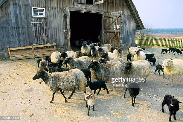 Germany Munster North German moorland sheep in the heath of Lueneburg