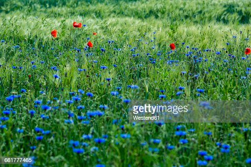 Trassenheide Germany  city photos gallery : Germany, near Trassenheide, cornflowers and poppies in cornfield