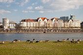 Germany, North Rhine-Westphalia, Duesseldorf, geese on the Rhine riverbank