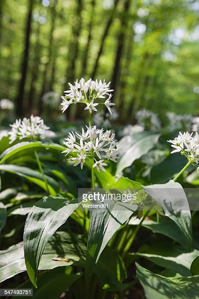 Germany, North Rhine-Westphalia, Eifel, blossoming wild garlic