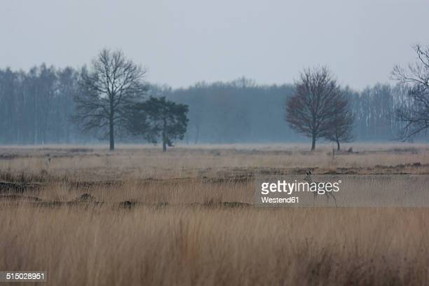 Germany, North Rhine-Westphalia, Luebbecke, landscape with bare trees and roe deer, Capreolus capreolus, at Hiller Moor by twilight
