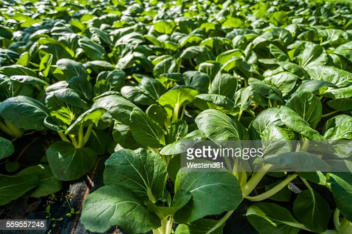 Germany, Organic bok choy growing in greenhouse